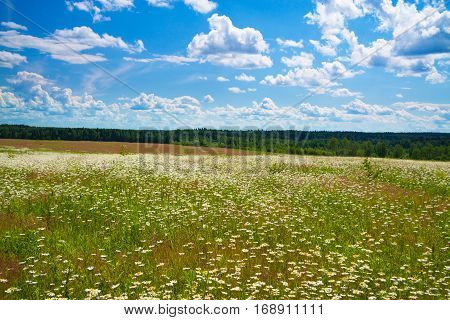 summer landscape with a field blue sky and white clouds. flowers camomiles on meadow.blossoming chamomiles