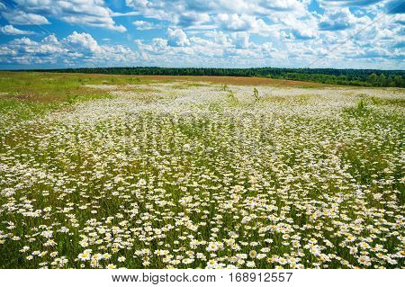 summer landscape with a meadow blue sky and white clouds. flowers camomiles on meadow.blossoming chamomiles