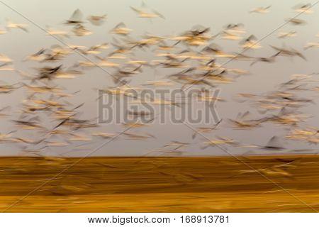 Swarm of Snow Geese in Saskatchewan Canada blurred panned