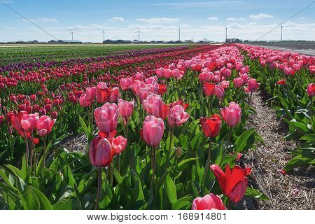 Colored field of flower bulbs in the province of North Holland in The Netherlands.