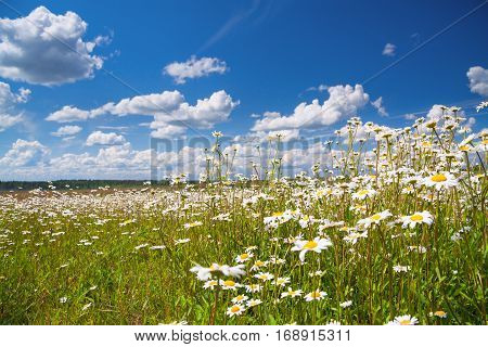 summer rural landscape with a field and blue sky. flowers camomiles on meadow. blossoming wildflowers chamomiles