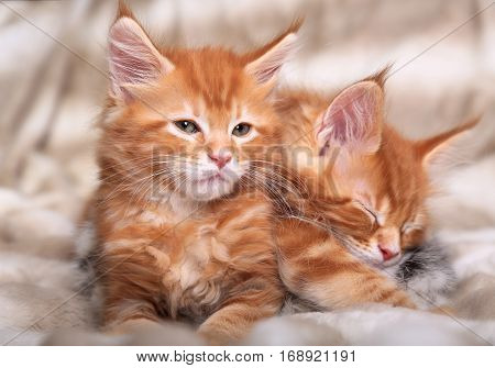 Two Beautiful Red Solid Maine Coon Kittens Covered In Warm Blanket And Wanting To Sleep. Soft Portra