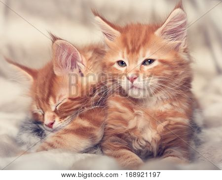 Two Beautiful Red Solid Maine Coon Kittens Covered In Warm Blanket And Wanting To Sleep. Soft Toned