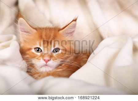 Beautiful Red Solid Maine Coon Kitten Covered In Warm Blanket And Looking Calm. Soft Portrait