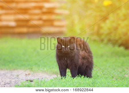 cute black cat angrily fluffed fur and he arched his back in green grass in summer