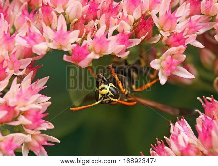 small striped wasp sitting on  flowers and collects nectar