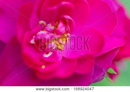 Close up of the bloom of a John Cabot rugosa rose.  Shallow depth of field