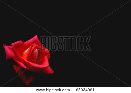 Faded black background with a scarlet rose