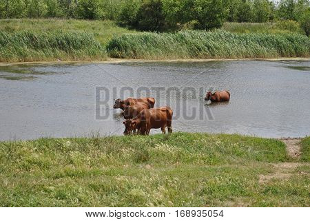 Cows on a summer pasture near river. Photo