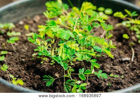 Small Green Sprouts Of Mimosa Pudica Growing From Soil In Pot In Greenhouse Or Hothouse. Mimosa Pudica Is A Sensitive Plant, Sleepy Plant, Dormilones, Touch-me-not, Or Shy Plant.