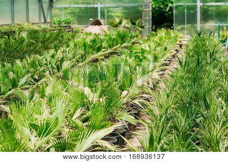 Small Green Sprouts Of Plant Palm Tree With Leaf, Leaves Growing From Soil In Pots In Greenhouse Or Hothouse. Spring, Concept Of New Life.