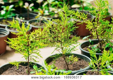 Small Green Sprouts Of Spruce Or Fir-tree Tree Plant With Leaf, Leaves Growing From Soil In Pots In Greenhouse Or Hothouse. Spring, Concept Of New Life.