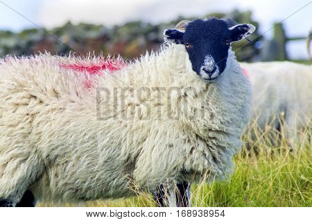 Swaledale Sheep on the North York Moors. A hardy breed for high moorland grazing