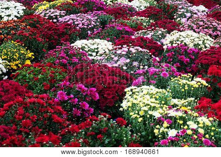 Colorful chrysanthemums and other autumn flowers at the market in flowerpots, nature background