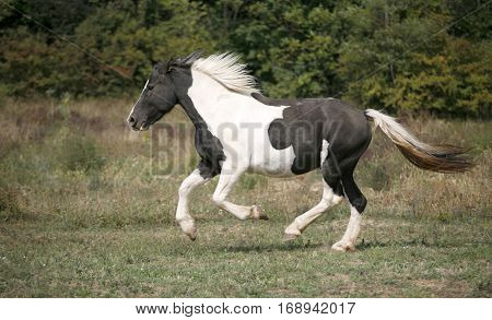 American young paint horse running gallop across a green field pasture summer time