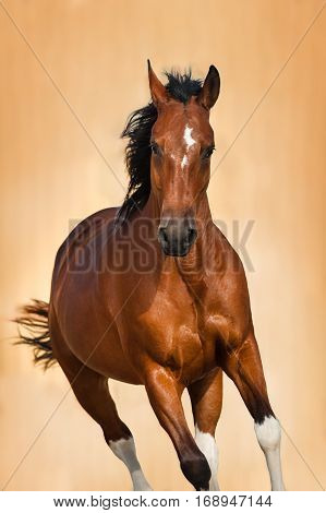 Bay horse portrait in motion on light background