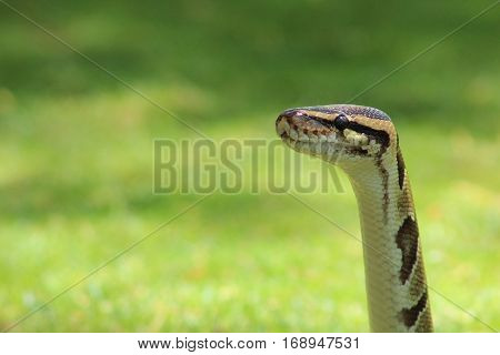 Ball Python with head raised looking to the left with grassy background