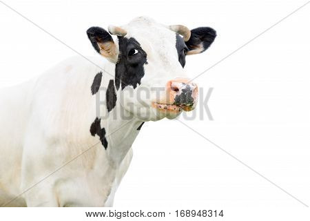 Funny cute black and white cow isolated on white. Cow muzzle close up. Farm animals.  Young cow close looking at the camera