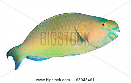 Tropical fish isolated: Bullethead Parrotfish on white background