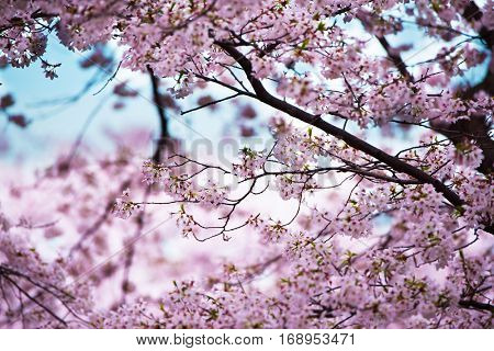 Cherry blossoms in full bloom. Soft pastel pink cherry blossom flowers and beautiful pastel blue spring sky in background. Shallow depth of field.