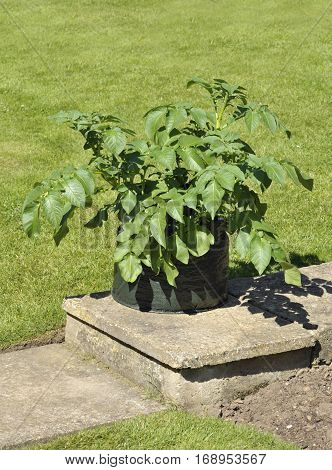 Container growing potatoes in a space saving patio bag of compost. Variety Charlotte a waxy salad variety suited to containers.