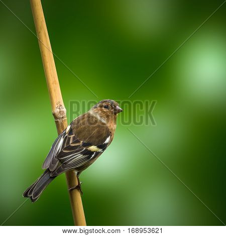 A Female Chaffinch On A Stick Of Bamboo Against A Blurred Green Background
