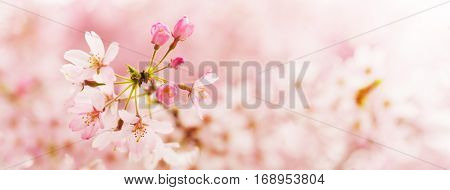 Spring Cherry blossoms in full bloom. Focus on upper right flower bud. Shallow depth of field. Wide title header dimension image.