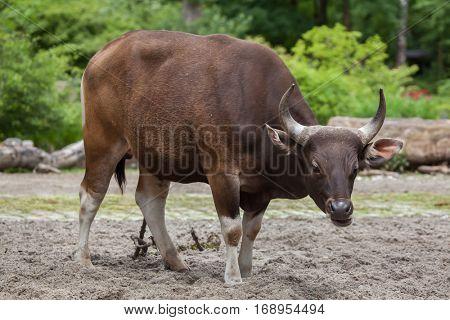 Javan banteng (Bos javanicus), also known as the tembadau.