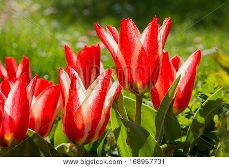 Dwarf Tulips In The Garden