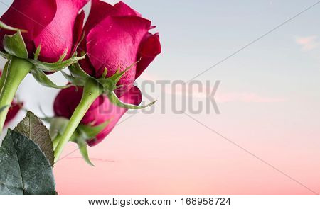 horizontal image of a group of red roses off to one side of the image with a light pink sunset in the background with lots of room for copy and text.