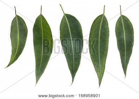 Collection of eucalyptus leaves isolated on white background. Large file.