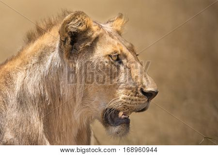 Closeup portrait of lioness looking for the next hunt, serengeti national park, tanzania