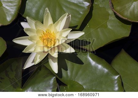 Yellow Flowering Water Lily (nymphaea)