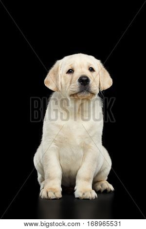 Unhappy Labrador puppy Sitting and whines on isolated Black background