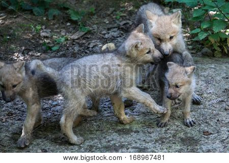 Newborn Arctic wolf (Canis lupus arctos), also known as the Melville Island wolf.