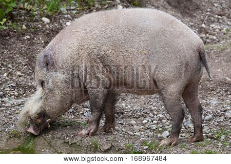 Bornean bearded pig (Sus barbatus), also known as the bearded pig.