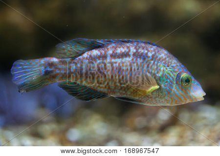 Corkwing wrasse (Symphodus melops). Marine fish.