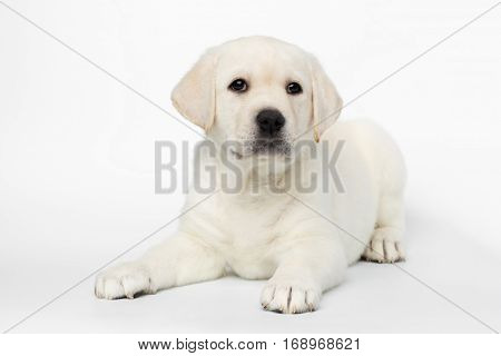 Unhappy Labrador puppy Lying and Looking in camera on white background, front view