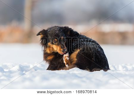Australian Shepherd Dog Gnawing At The Paw