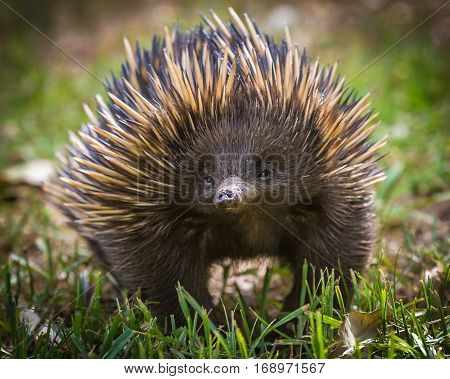 The short-beaked echidna (Tachyglossus aculeatus) on grass