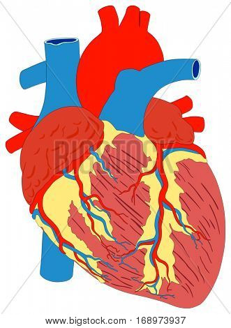 Human Heart Muscle Gross Anatomy vector diagram unlabeled outside view with all parts aorta aortic arch right left atrium ventricle artery vein supply anatomical education biology science education