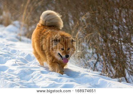 Cute Elo Dog Walks In A Winter Landscape