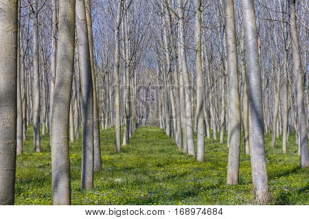 A row of poplars growing in the the riverside.