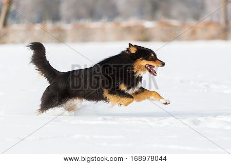 Dog Runs In The Snow