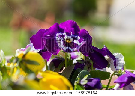 Pansy. Flowers of purple and yellow color on the vase.