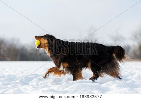 Dog With A Ball In The Snout In The Snow