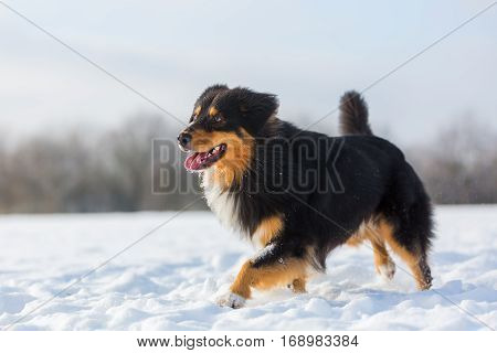 Dog Walking In The Snow