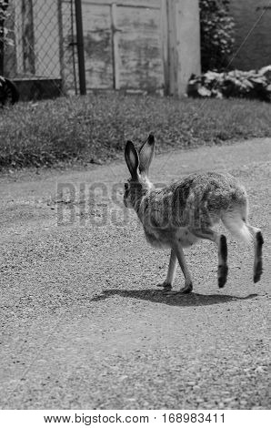 Hare on a gravel path in the summer close up, black and white