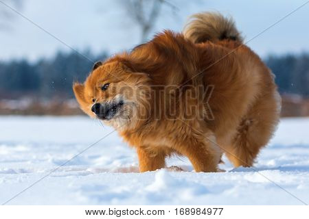 Elo Dog Shaking Fur In The Snow