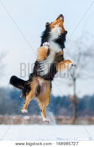 Dog In Winter Landscape Jumps In The Snow